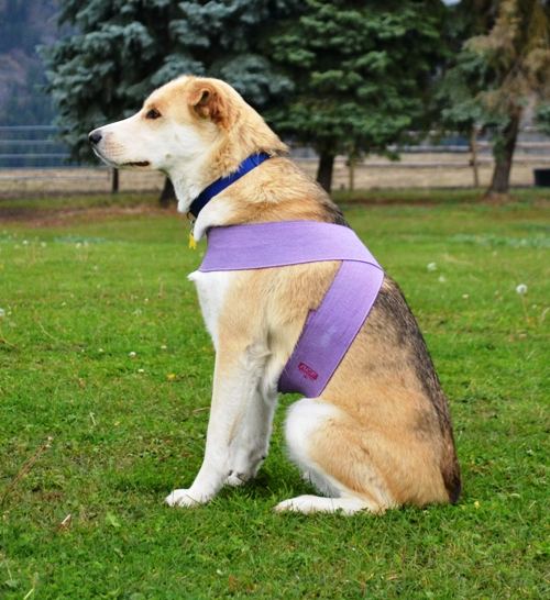 A husky cross dog wears a tellington ttouch bodywrap