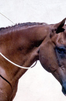 A chestnut horse wearing a Tellington TTouch Liberty neck ring