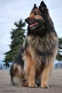 Roy the Belgian Shepherd, a TTouch dog training afficianado