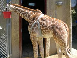 Giraffe wearing a Tellington TTouch Body Wrap